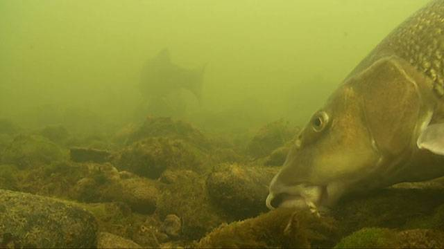 The Underwater World Of The Barbel Daiwasports Co Uk